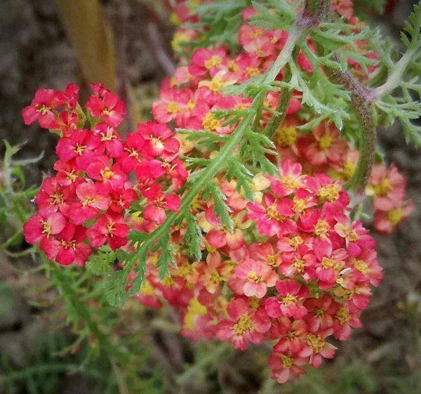achilea-millefolium-paprika