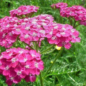 achilea-millefolium-tendresse