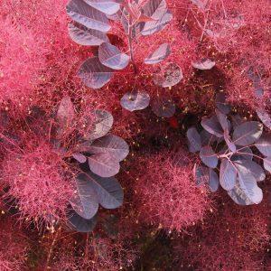 cotinus-cogygria-royal-purple