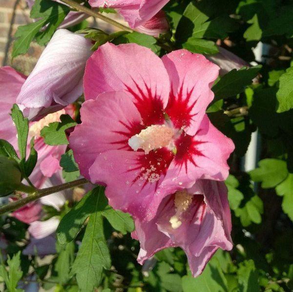 hibiscus-syracus
