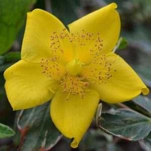 hypericum-moserianum-tricolor