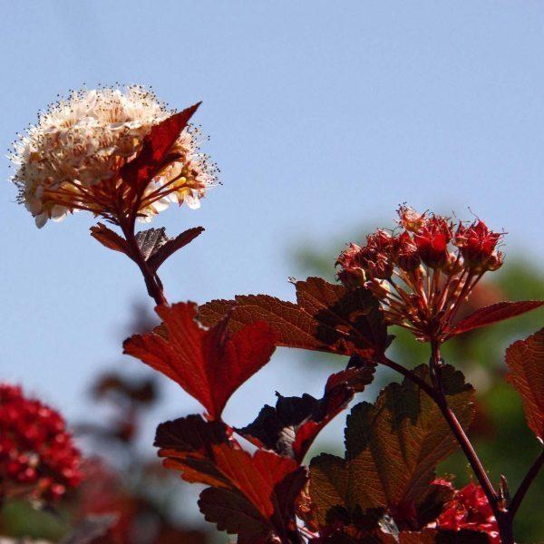physocarpus-opulifolius-summer-wine