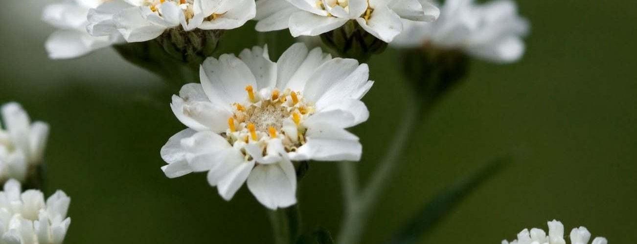 achillea-ptarmica