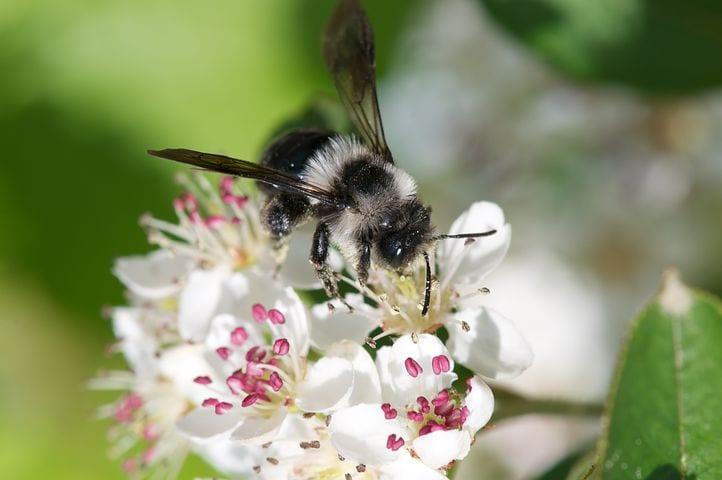 abeille-sur-un-aronia
