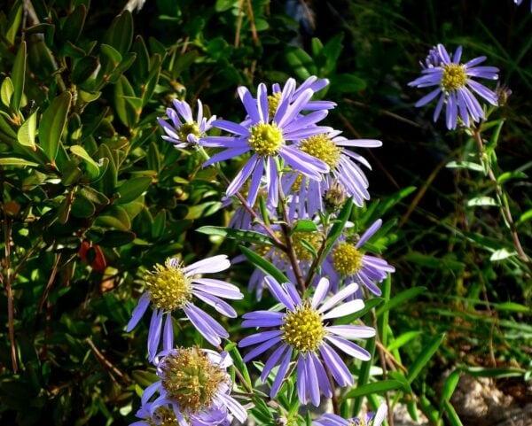 aster-ageratoides-eleven-purple