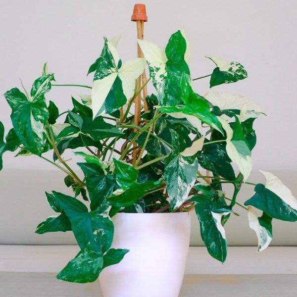 syngonium-podophyllum-variegata
