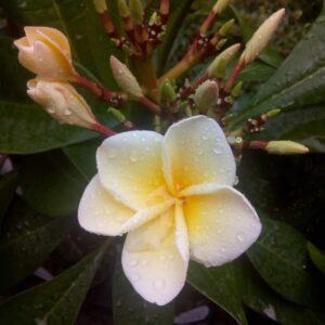 plumeria-lemon